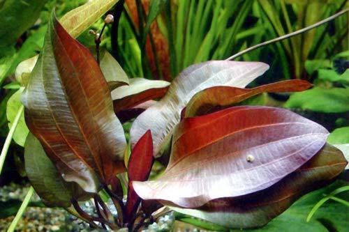 AquaFert Echinodorus 'Regine Hildebrandt'