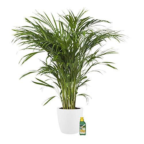 Árbol de interior de Botanicly | palma de la caña de oro con maceta blanca como un conjunto | Altura: 100 cm | Areca dypsis lutescens
