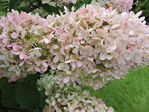 5 Stück Rispenhortensie 'Limelight' -S- Hydrangea paniculata im Topf 15-30 cm