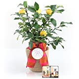 CAN NOT SHIP TO CA, TX, AZ, OR LA A BEAUTIFUL HAPPY BIRTHDAY GIFT TREE - RIGHT OUT OF THE BOX! This healthy Myer Lemon Gift Tree is the perfect gift for a welcoming housewarming gift or any gift occasion. Gift occasions like new baby, housewarming, b...