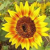topxingch 100 Stück Beutel Sonnenblumenkerne Gute Ernte Helianthus Samen Für Garten Farm Outdoor...