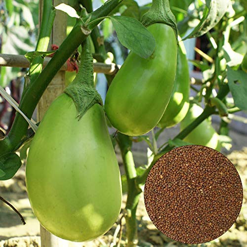 Oce180anYLVUK Semi di melanzana verde, 100 pezzi/borsa Semi di melanzana verde gustosi semi di melanzana portatili per fattoria Eggplant Seeds