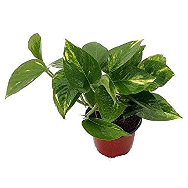 Golden Devil's Ivy - Pothos - Epipremnum - 4  Pot - Very Easy to Grow