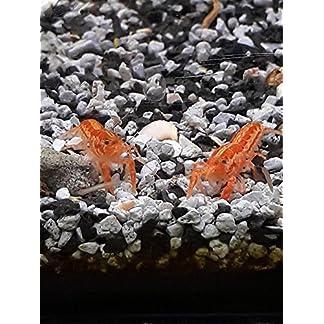 Oranger Zwergflusskrebs 3 Tiere