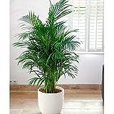Semillas de palmeras duras de invierno Raras semillas de palmeras enanas Plantas de interior Bonsai Mariposa Palmera Planta perenne para la decoración del jardín del hogar