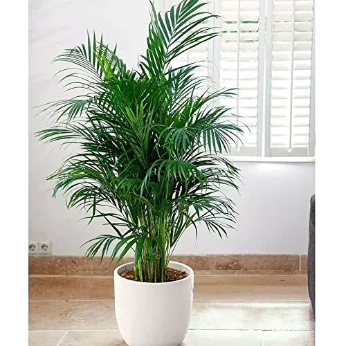 Winter Harte Palm Samen Seltene Zwergpalme Samen Zimmerpflanzen Bonsai Schmetterling Palm Mehrjährige Pflanze für Hausgarten Dekoration