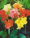 Canna gemischt Blumenrohr Rhizom Blumenzwiebeln (10 Canna (Rhizom))