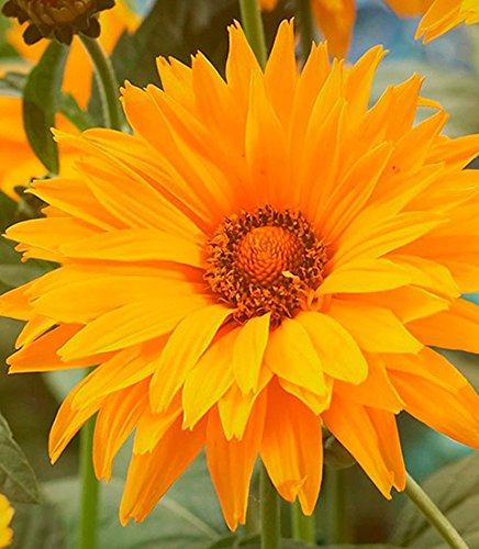 Sonnenaugen - Heliopsis scabra - Blume - 20 Samen