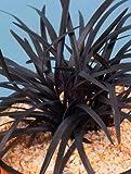 """Ophiopogon planiscapus"""" Niger"""" - Schwarzer Schlangenbart - Ziergräser winterhart immergrün mehrjährig -15 cm Topf"""