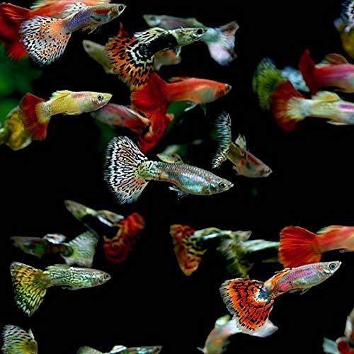 5 Fancy Guppy Males Live Freshwater Aquarium Fish