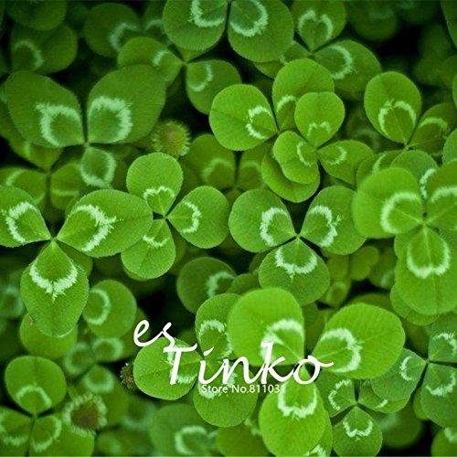 300pcs Trèfle blanc Graines Trifolium repens Whitetip Clover Shamrock Jardin des plantes Terrain Clover Feuillage Plante