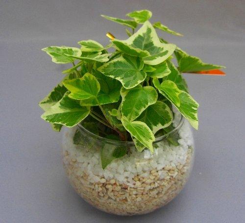 ハイドロカルチャー観葉植物(サンゴ砂)2鉢セット バブ10 見た目が大変キレイで清涼感のあるデザインです。サンゴ砂は、雑菌等の抑制、水の濾過効果があり水質が清潔な状態で保たれます。お部屋のインテリアや贈り物に最適です。