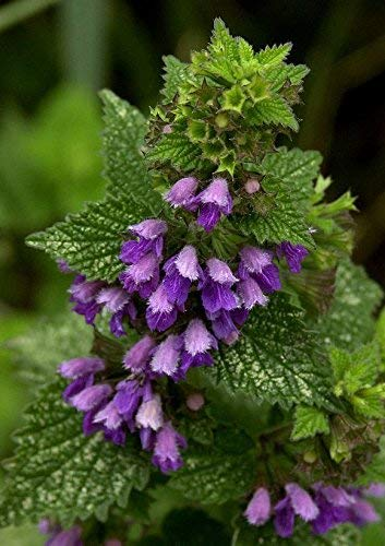Andorn 200 Samen Große Herb Pflanze
