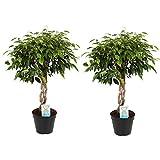 Plantas de interior de Botanicly – 2 × Ficus de hoja pequeña – Altura: 65 cm – Ficus benjamina Anastasia