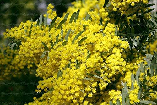 Potseed 20pcs Samen Mimose Albizia julibrissin Akazien-Samen ewige Liebe 2016 Neue Samen für Zimmerpflanzen