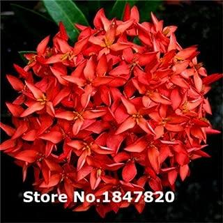 Best ixora plant for sale Reviews