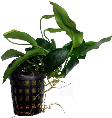 5 Töpfe Anubia minima, Aquariumpflanzen, Aufsitzerpflanze