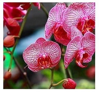 10pcs/lot papillon graines d'orchidées, fleurs d'intérieur bonsaï quatre saisons, Phalaenopsis Orchidées jardin 10