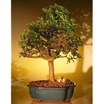 Amazon Com Bonsai Boy S Baby Jade Bonsai Tree Extra Large Portulacaria Afra Garden Outdoor