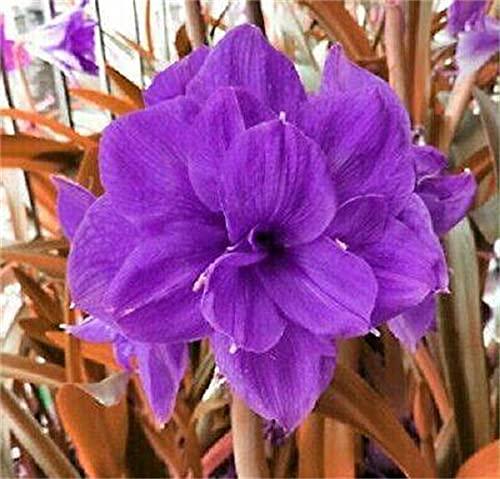 Pflanzen Amaryllis Zwiebeln/Einfach zu züchten /Seltene lila echte Hippeastrum-Zwiebeln-2 Zwiebeln