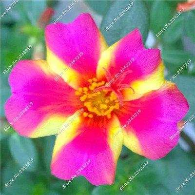 Portulaca Seed, Moss-rose Pourpier Plantes d'intérieur Fleurs doubles semences Balcon et cour Bonsai Seed Le taux bourgeonnant 95% 120 Pc 1