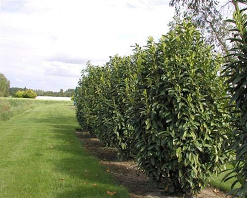 Säulen-Kirschlorbeer Prunus Genolia 25 Stück Kirschlorbeer Neuheit 20-30 cm T9x9 Pflanzware
