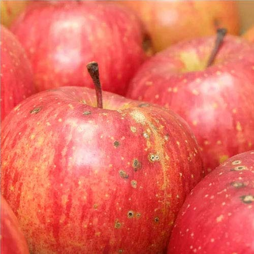 早生りんご(赤) 家庭用 8kg箱 特別栽培(無・無) (青森県 北上農園) 産地直送 ふるさと21