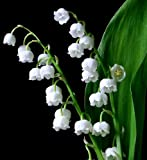 (PLALV)~3~'LILY-of-the-VALLEY' Pips!!!!~~~~~~~Fragrant White Spring...