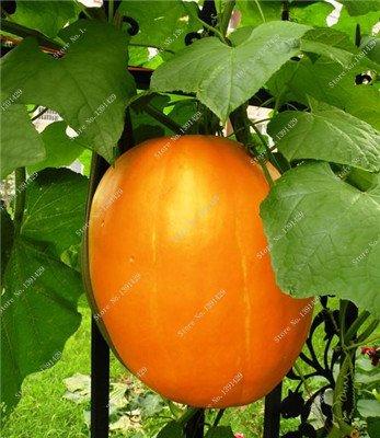 Graines de citrouille rares Cucurbita fil d'or de citrouille non-OGM légumes jardin Bonsai plantes ornementales semences Escalade 10 Pcs/sac 7