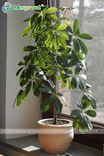 semi 50PCS Schefflera, Schefflera actinophylla, in vaso, Bonsai, di impianto è semplice, in erba tasso del 95%, l'assorbimento di radiazione