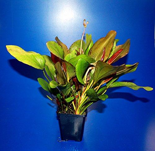 WFW wasserflora MUTTERPFLANZE Kleine Rote Schwertpflanze/Echinodorus Reni