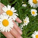 PRODOTTI HOO - 400 pezzi semi del pacchetto 100% la sopravvivenza del seme bianco Piretro crisantemo semi di promozione Flower Seeds Perdita