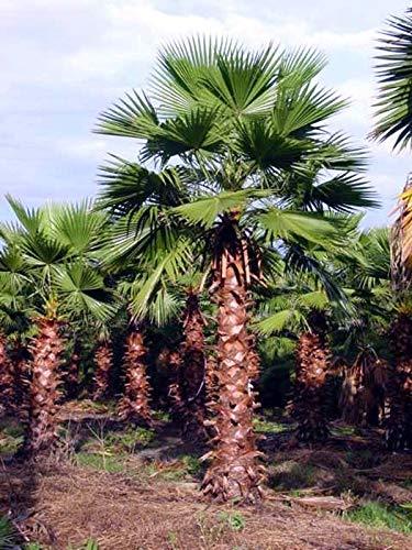 Portal Cool Washingtonia Robusta - Hardy tropicale messicano Palma nana - 10 Semi Exotic