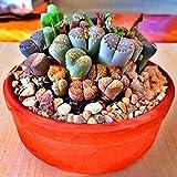 Nukana 100 Stücke Lithops Pseudotruncatella Samen Dasktop Grünpflanzen Seltene Topf Stein Sukkulenten Mischung Samen