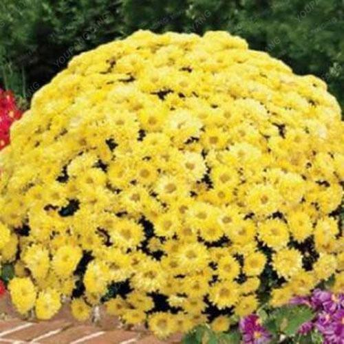 100pcs / sac couvre-sol des graines de chrysanthèmes, plante en pot graines de fleurs vivaces bonsaïs marguerite pour le jardin chrysanthème maison blanche