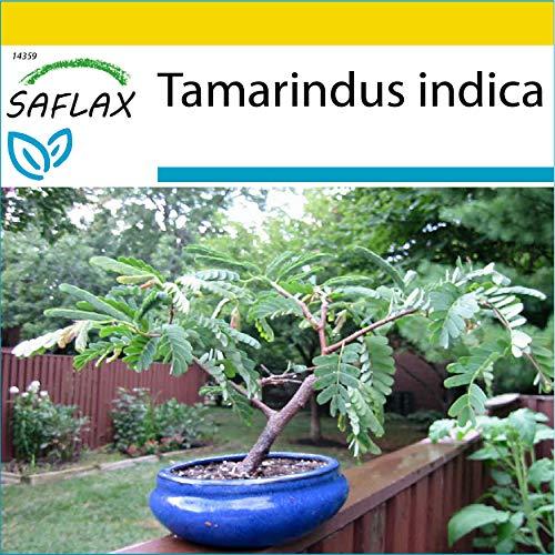 SAFLAX - Anzucht Set - Bonsai - Tamarinde - 4 Samen - Mit Mini-Gewächshaus, Anzuchtsubstrat und 2 Töpfen - Tamarindus indica