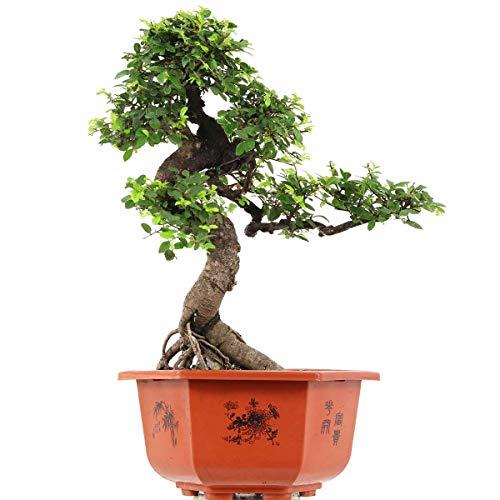 Chinesische Ulme, Bonsai, 15 Jahre, 52cm