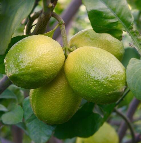 20 graines naines Lemon Tree - plantes d'extérieur, bricolage jardin Bonsai, parfumé 5