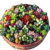 Lacegre 100 Pcs Mixed Succulent Anti-Radiation Fleshy Seeds Potted Flower Cacti & Succulents