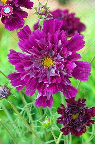 100pcs Rare Bonsai Double Cosmos Graines de fleurs vivaces plantes à fleurs en pot pour jardin facile à cultiver 7