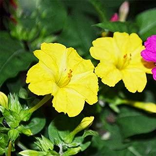 Perennial Garden Seed Jasmine Hot Sale Yellow Jasmine Fragrant Plant Mirabilis Potted Plants for Home & Garden 30PCS