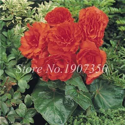 Shopmeeko Graines: 100 Pcs/Mitigé Begonia fleur en pot de bonsaïs d'intérieur Decoratie beau jardin mur usine Décoration pour l'arbre de Noël: 14