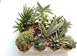 Italy Green Life 6 Piante Grasse Vere Rare Succulenti|Vaso Diametro 5.5cm|Coltivazione Sen...
