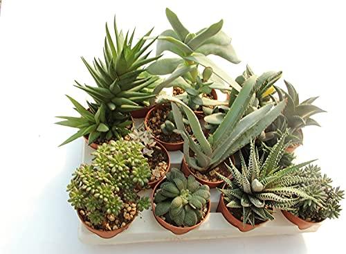 Italy Green Life 6 Piante Grasse Vere Rare Succulenti|Vaso Diametro 5.5cm|Coltivazione Senza Spine|Set di Produzione| Piantine Da Interno, Ufficio, Bomboniere, Scrivania| 6 Piante Vere da Interni