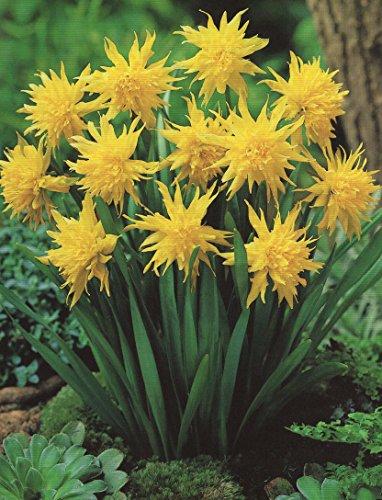 20 Gefüllte Narzissen Rip van Winkle Blumenzwiebeln Narcissus