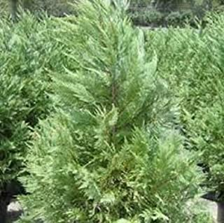 Best size of leyland cypress Reviews