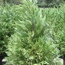 Leyland Cypress, FIVE plants, upright evergreen plant, plants
