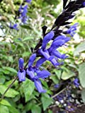 Black and Blue Salvia Attracts Pollinating Insects and Hummingbirds