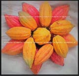 FERRY Graines Bio ne Pas Plantes: 2 Entier Cacao POD ~ Fresh Bio Fruits au Chocolat Exotique Rare Cacao en