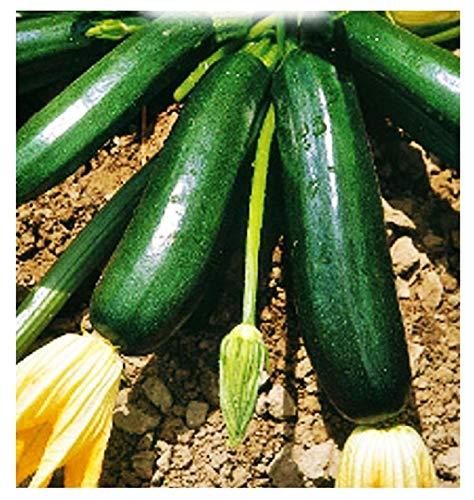 Semillas de calabacín negro de Milán - verduras - cucurbita